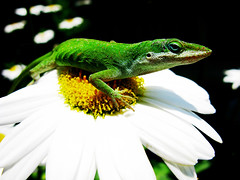 Anole on a Daisy