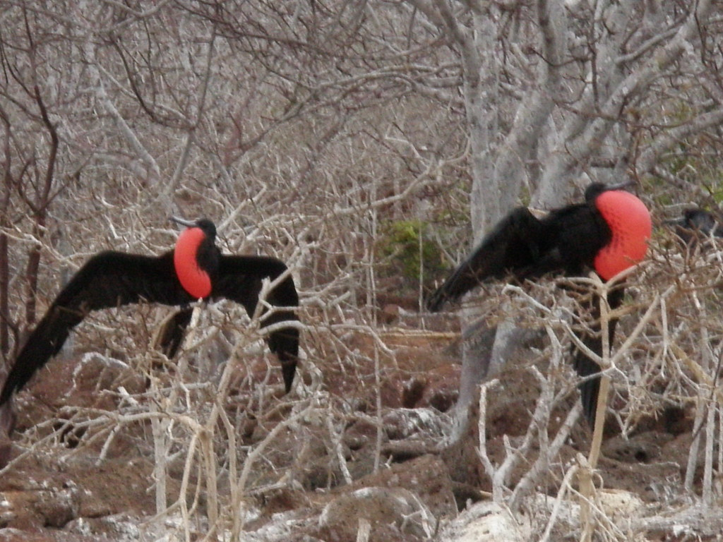North Seymour Island Birds