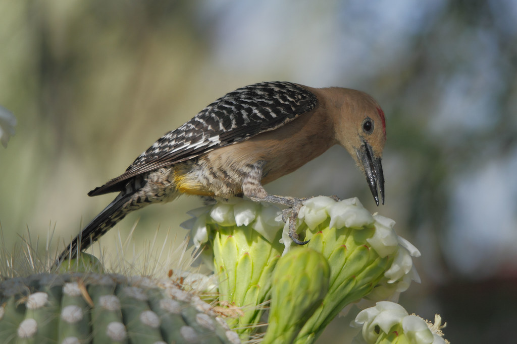 the endangerment of the gila woodpecker The species is endangered in california and extirpated from nevada audubon's climate model projects huge shifts for the gila woodpecker, with suitable climate space in summer increasing significantly but shifting radically.