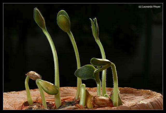 Resultado de imagen de calabaza germinando