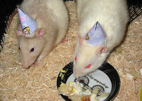 My Pet Rats Wearing Birthday Hats In 2005 My Ratties