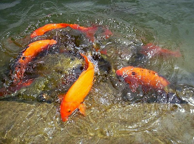 2 Temple Pond Golden Temple Amritsar These Fish In The Flickr