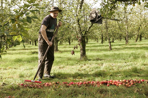 Drew harvesting cider apples from the orchard | by GwyntCider