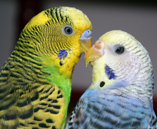 Bedroom Eyes  Two Of Our Parakeets, Shrek And Rainbow -9105