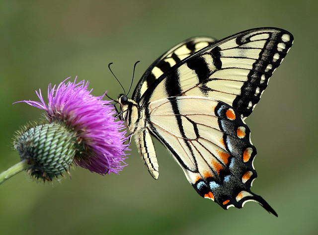 An eastern tiger swallowtail on a thistle flower