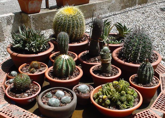 Los cactus hojas por espinas el cactus como estructura for Como decorar un jardin grande