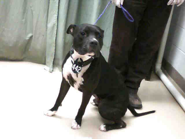 Black with White Chest Male Pit Bull | Solid black male ...