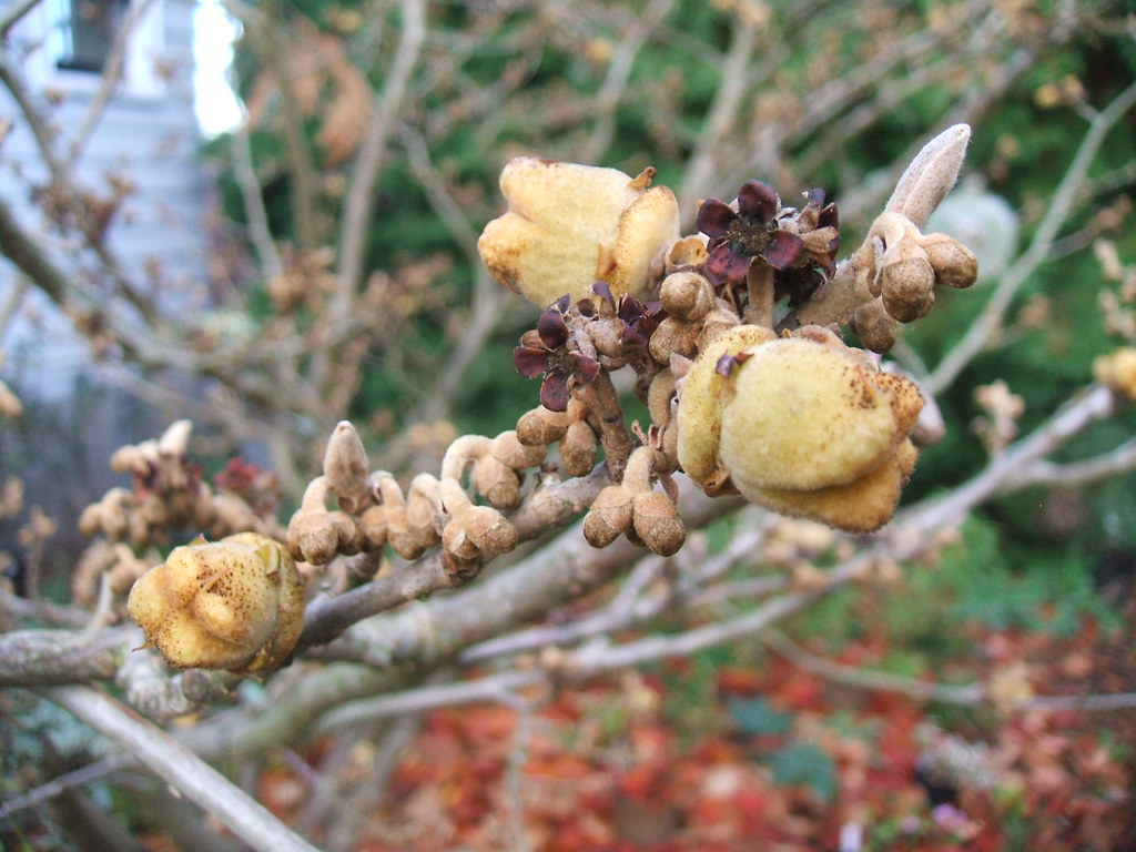 Witch hazel nut