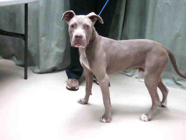 Blue fawn american pitbull terrier