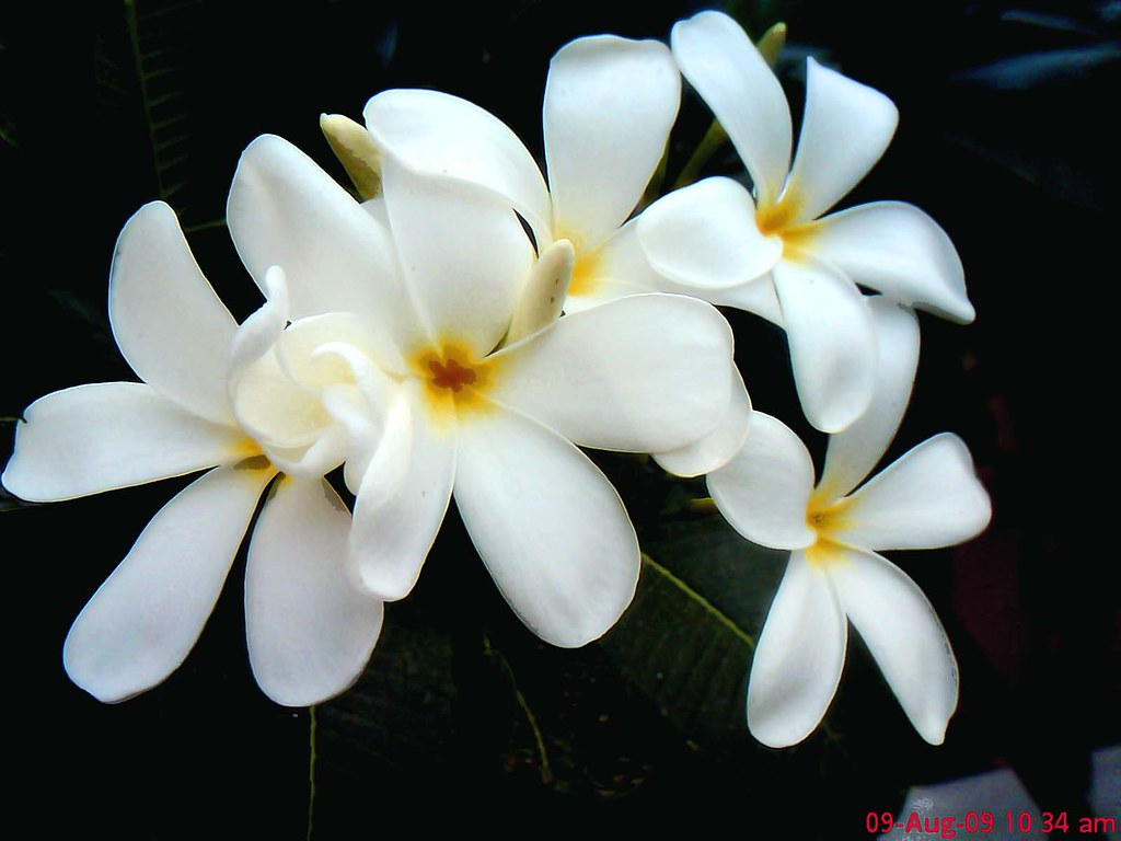 frangipani  गुलचीन gulchin, चम्पा champa, Natural flower