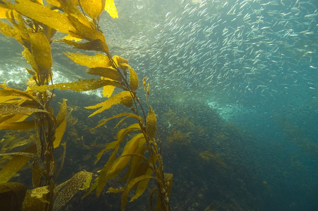 Image result for kelp