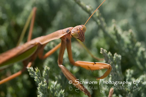 Mantis | by jake7474505b_1999 ( the Coroner )