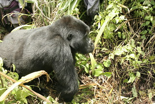 10 year old Blackback Mountain Gorilla passing by | by David d'O / Schaapmans
