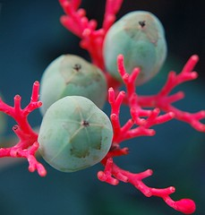 Astounding colors of glowing Coral Plant and its wondrous turquoise seeds | by jungle mama