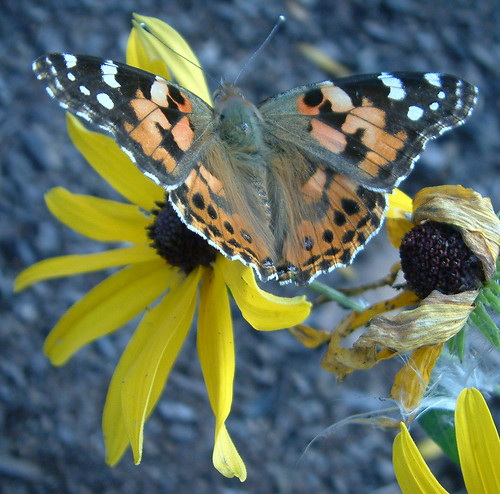 Black-Eyed Susan and Painted Lady | by whitebuffalobk