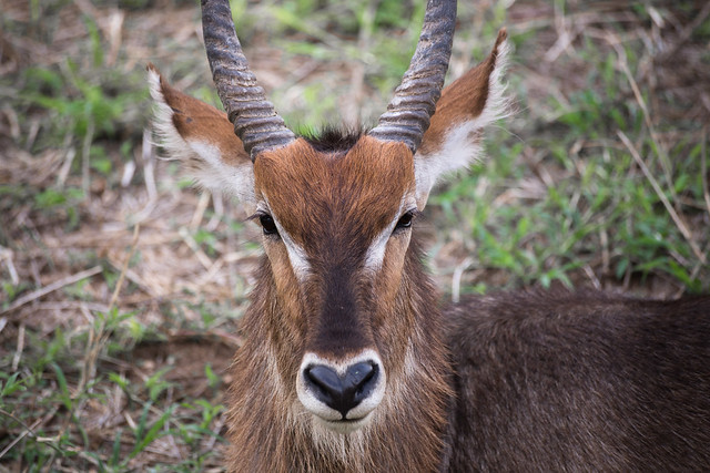 The Waterbuck - Tarangire National Park
