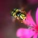 Cyprus Wasp