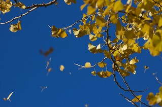 ginkgo leaves | by julesberry2001