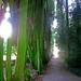 alberi di smeraldo