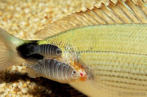 Isopod bite - photo#4