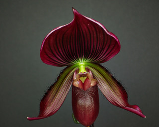 Paph. 'Black Cherry' Cross | by Susan Roehl