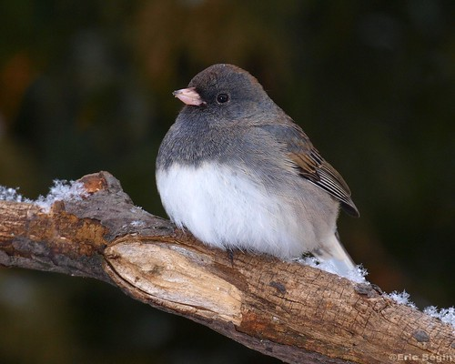 Junco ardoisé / Dark-eyed Junco | by Eric Bégin