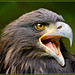 American Bald Eagle youngster