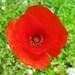 Red Wildflower