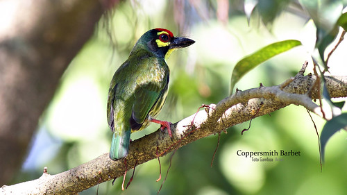 Coppersmith Barbet | by Toto Gamboa