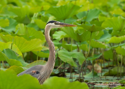 Great Blue Heron | by John Baggaley