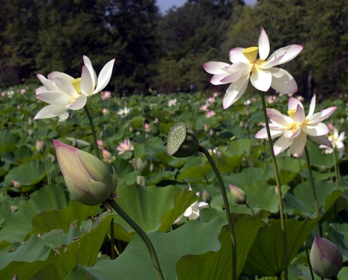 Lotus Buds, Flowers, Pods at Kenilworth (Washington, DC) | by takomabibelot