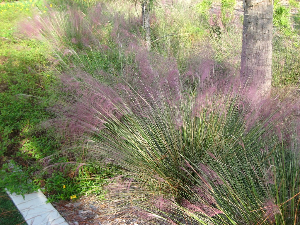 Muhly grass florida native ornamental grass purple for Ornamental grasses that bloom