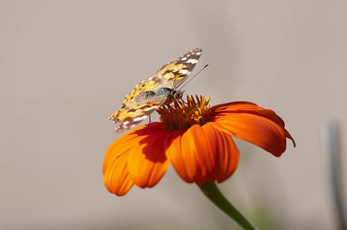 mexikanische sonnenblume georg weis flickr. Black Bedroom Furniture Sets. Home Design Ideas