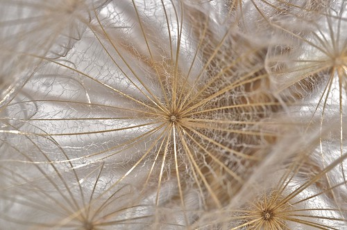 Inside a dandelion | by Lisa Karloo