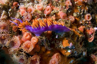 spanish shawl nudibranch among club tipped anemones | by kozyndan