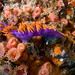 spanish shawl nudibranch among club tipped anemones