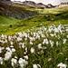 Swiss Alps - Balalp: The Cotton Fields