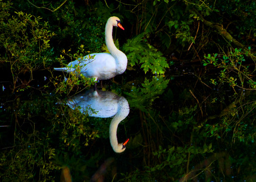 Mirror Swan | by MalachyConey
