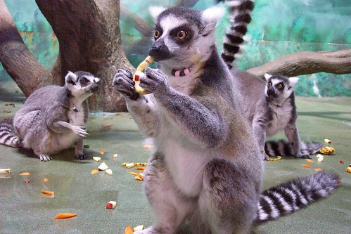 Ring-tailed Lemur | by Potter Park Zoo
