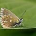 Adonis blue - Polyommatus bellargus - male