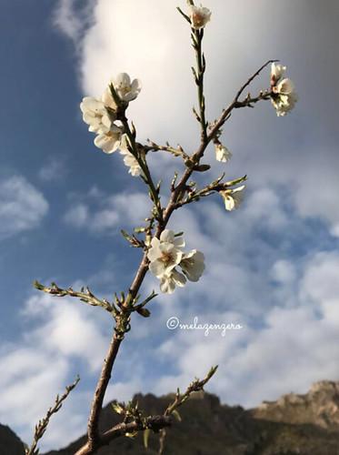 Mandorli in fiore (prima fioritura)