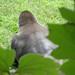 gorilla back