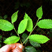 Ulmus rubra - Slippery Elm young leaves