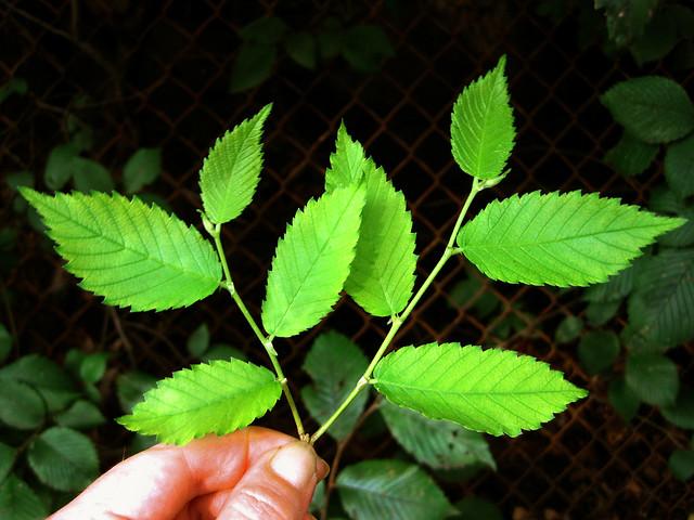 ulmus rubra - slippery elm young leaves