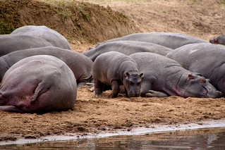 lazy hippo gang | by spanaut