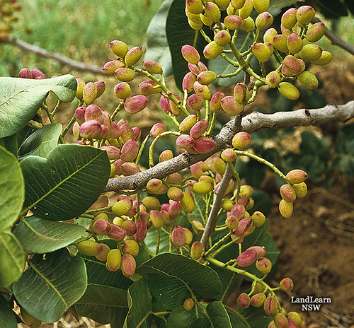 Pistachio nuts | Nuts, pistachios on tree. www ...