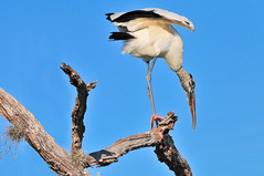 Wood Stork flapping on tree | by Ed Rosack