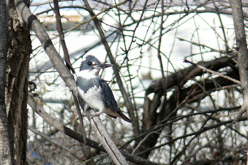 Belted Kingfisher 2 | by colographicalchemy I'm back