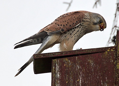 Kestrel eating another mouse - IMG_6853a | by Alfs photodiary
