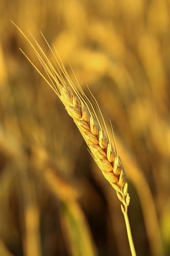 wheat stalk eyre peninsula australia | golden harvest...eyre ... Peninsula